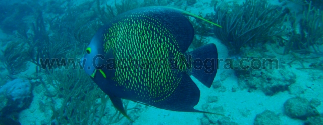 Cachama Negra, (Pomacantus Paru)